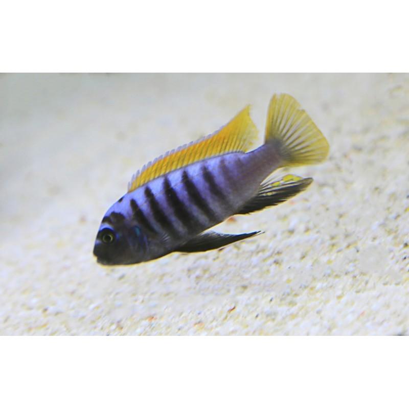 Zebra Puulu