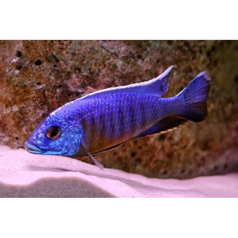 Aulonocara Blue