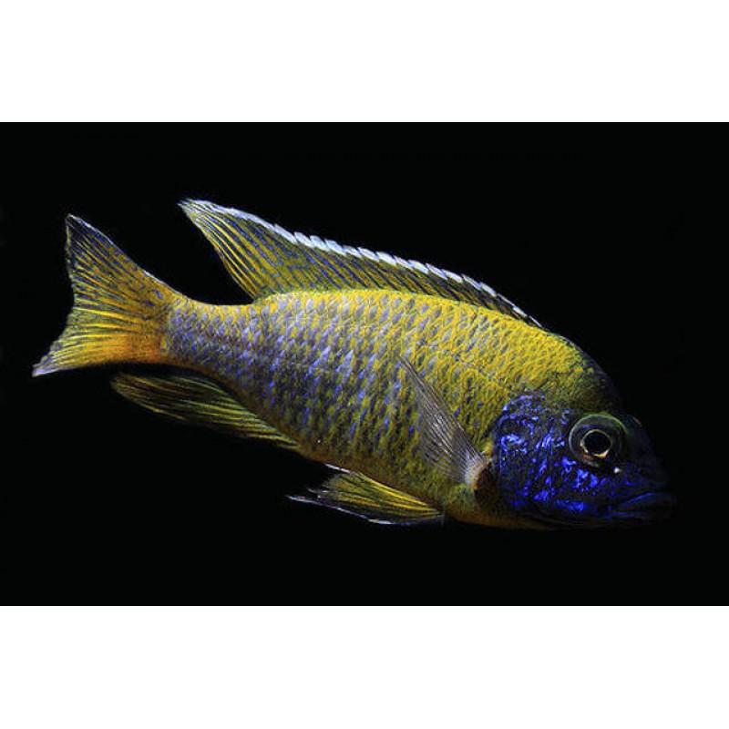 Aulonocara Yellow